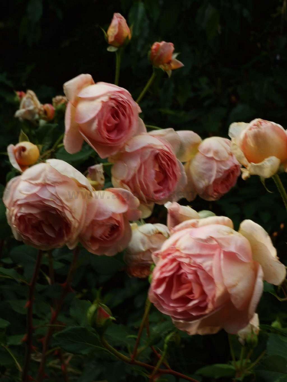 auscot englische rose kaufen bei agel rosen. Black Bedroom Furniture Sets. Home Design Ideas