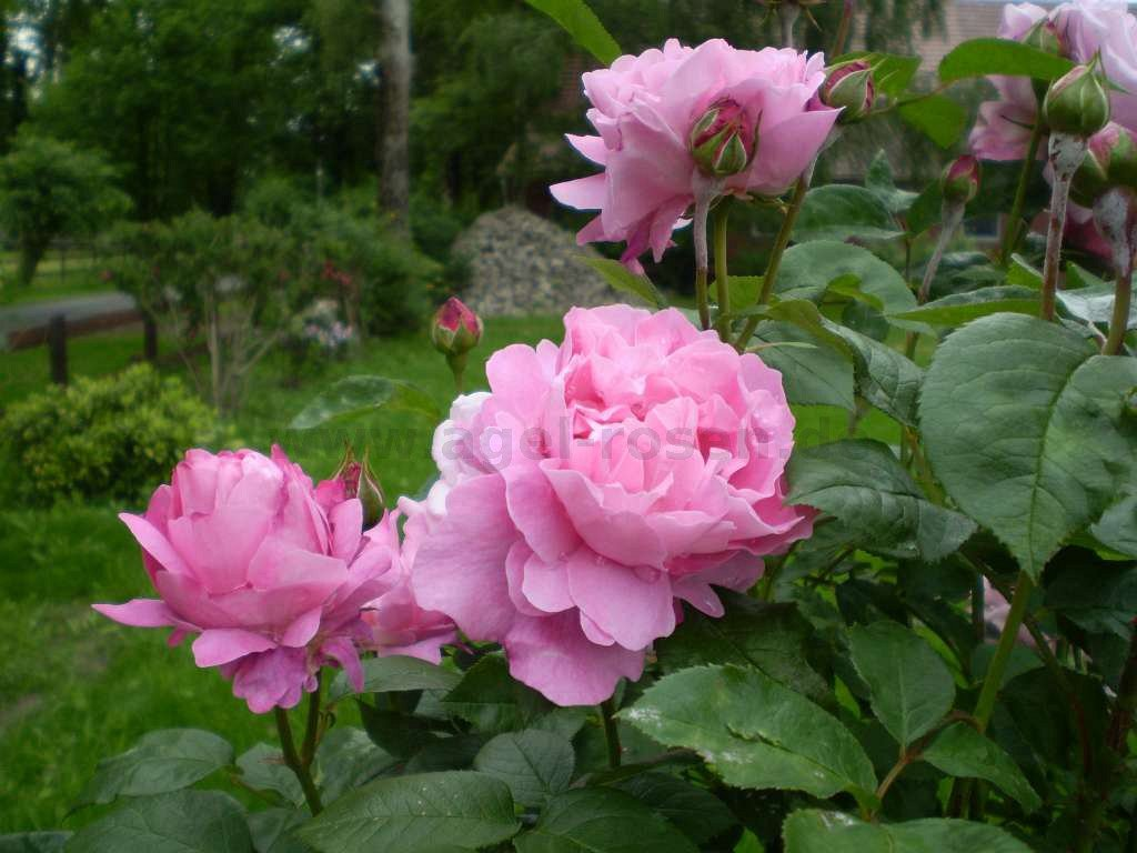 rose ausmary online kaufen agel rosen hochstammrosen. Black Bedroom Furniture Sets. Home Design Ideas