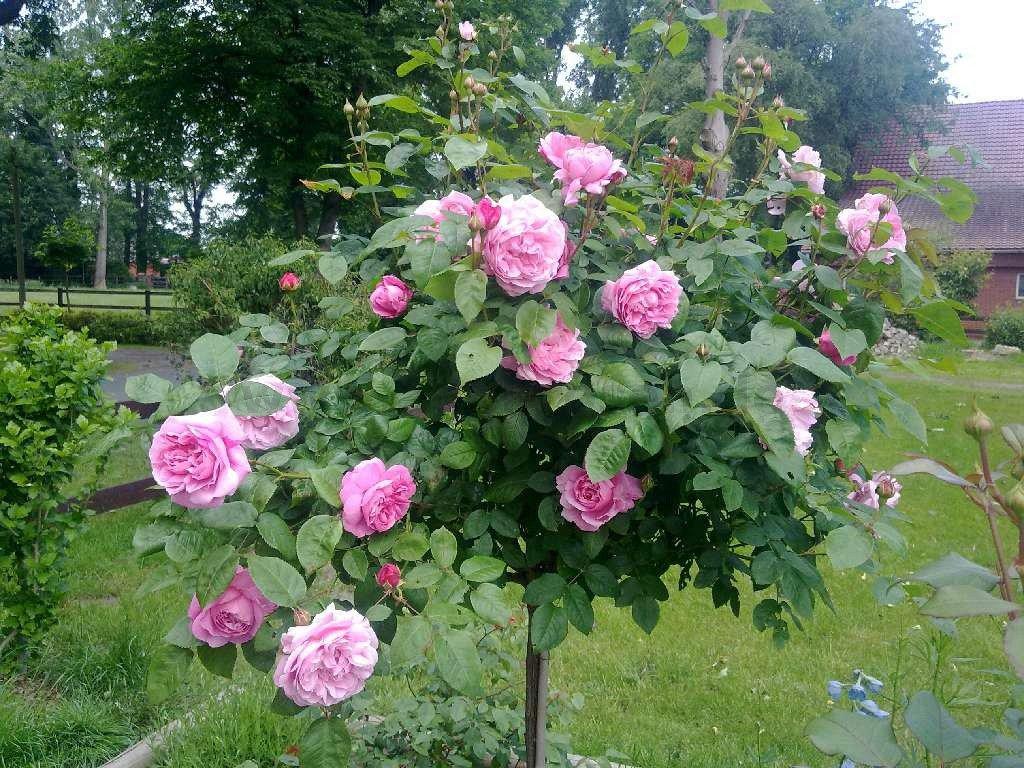 rosen kaufen rosen kaufen gr nfingers rostocks. Black Bedroom Furniture Sets. Home Design Ideas