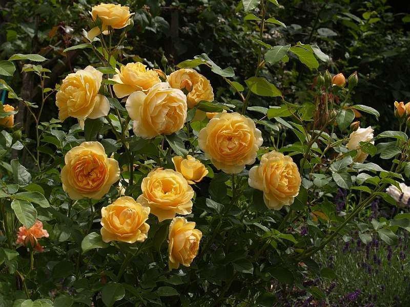 ausmas englische rose kaufen bei agel rosen. Black Bedroom Furniture Sets. Home Design Ideas