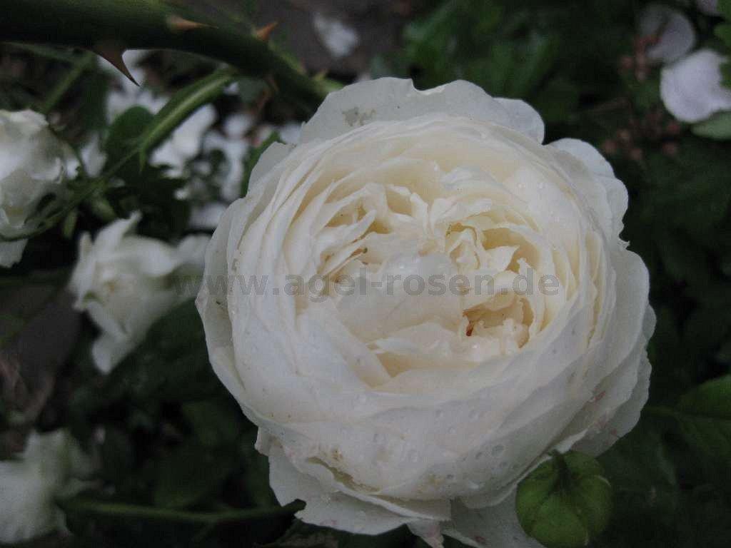 claire austin englische rose kaufen bei agel rosen. Black Bedroom Furniture Sets. Home Design Ideas
