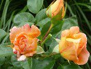 Crown Princess Margareta (Englische Rose)