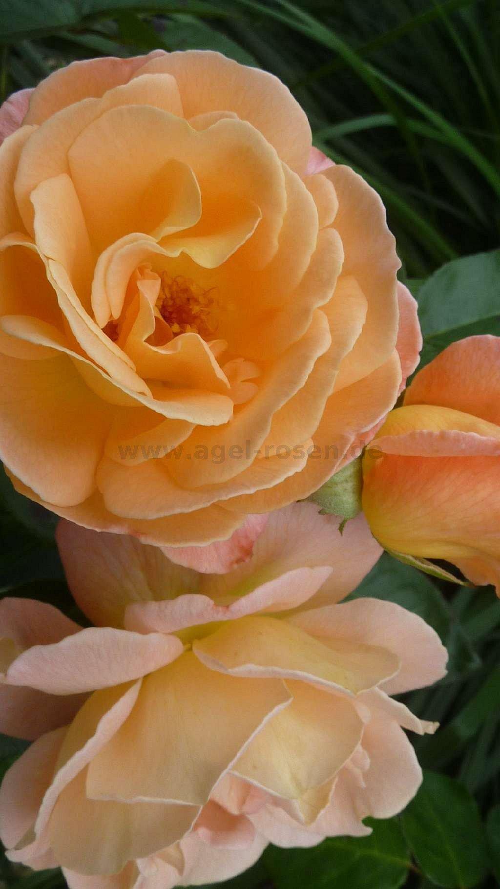 crown princess margareta englische rose kaufen bei. Black Bedroom Furniture Sets. Home Design Ideas