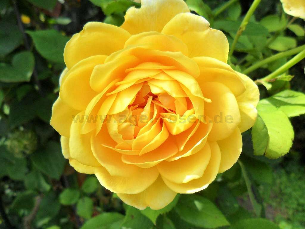 golden celebration englische rose kaufen bei agel rosen. Black Bedroom Furniture Sets. Home Design Ideas