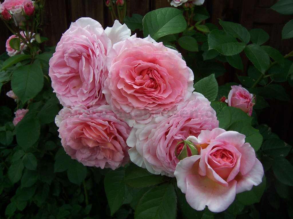 james galway englische rose kaufen bei agel rosen. Black Bedroom Furniture Sets. Home Design Ideas