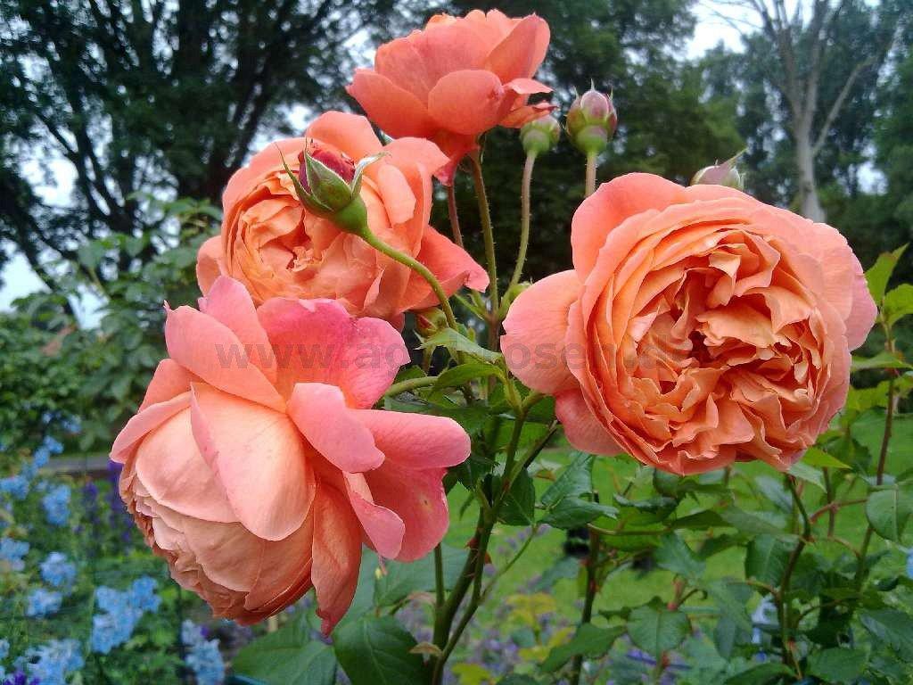 summer song englische rose kaufen bei agel rosen. Black Bedroom Furniture Sets. Home Design Ideas