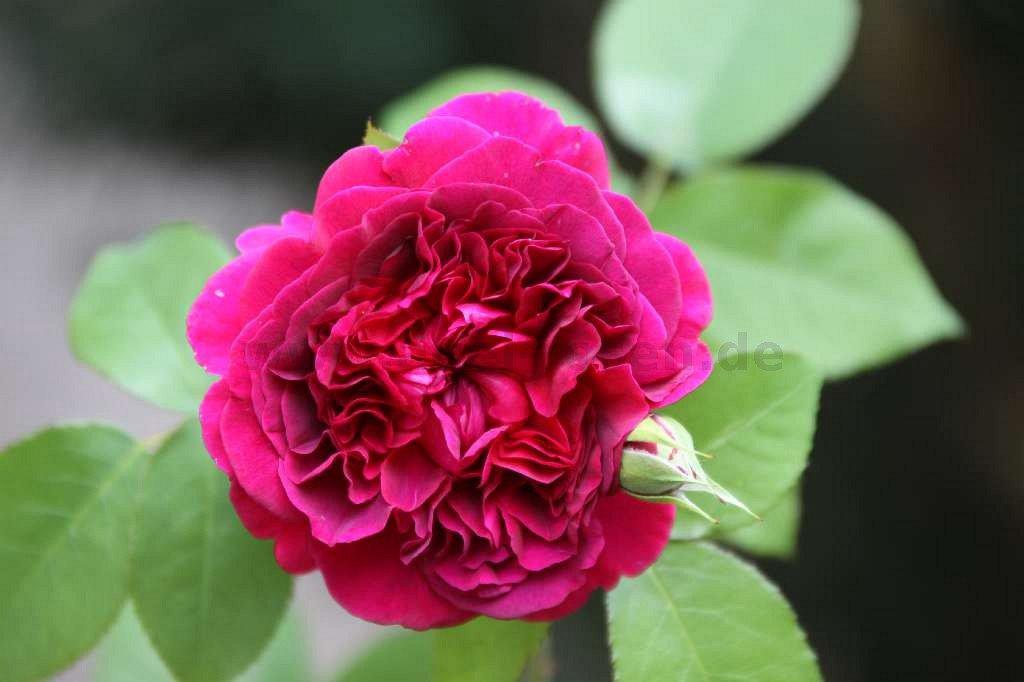 the dark lady englische rose kaufen bei agel rosen. Black Bedroom Furniture Sets. Home Design Ideas
