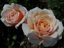 Apricot Parfait (English Rose)