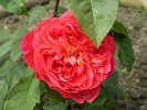 Benjamin Britten (English Rose)
