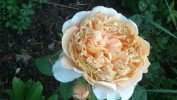 Crown Princess Margareta (English Rose)
