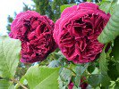 Falstaff (English Rose)
