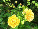 Golden Celebration (English Rose)