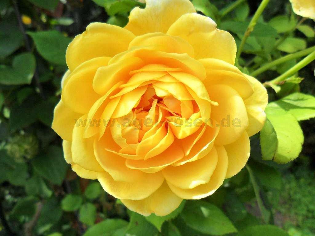 golden celebration english rose buy at agel rosen. Black Bedroom Furniture Sets. Home Design Ideas