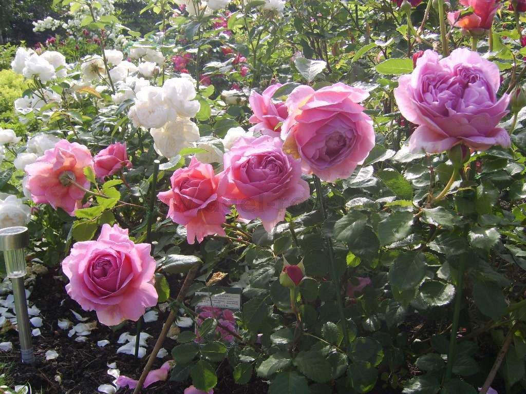 princess alexandra of kent english rose buy at agel. Black Bedroom Furniture Sets. Home Design Ideas
