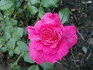 Bad Birnbach (Floribunda Rose)