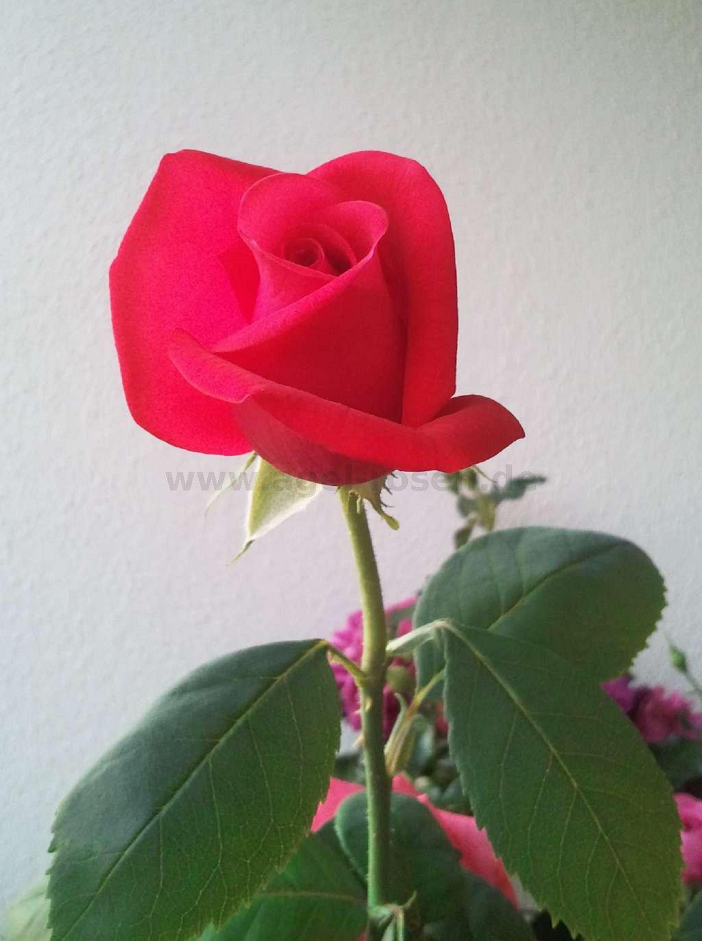 buy rose duftwolke online at agel rosen 5 liter pot container roses. Black Bedroom Furniture Sets. Home Design Ideas