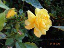 Friesia (Floribunda Rose)