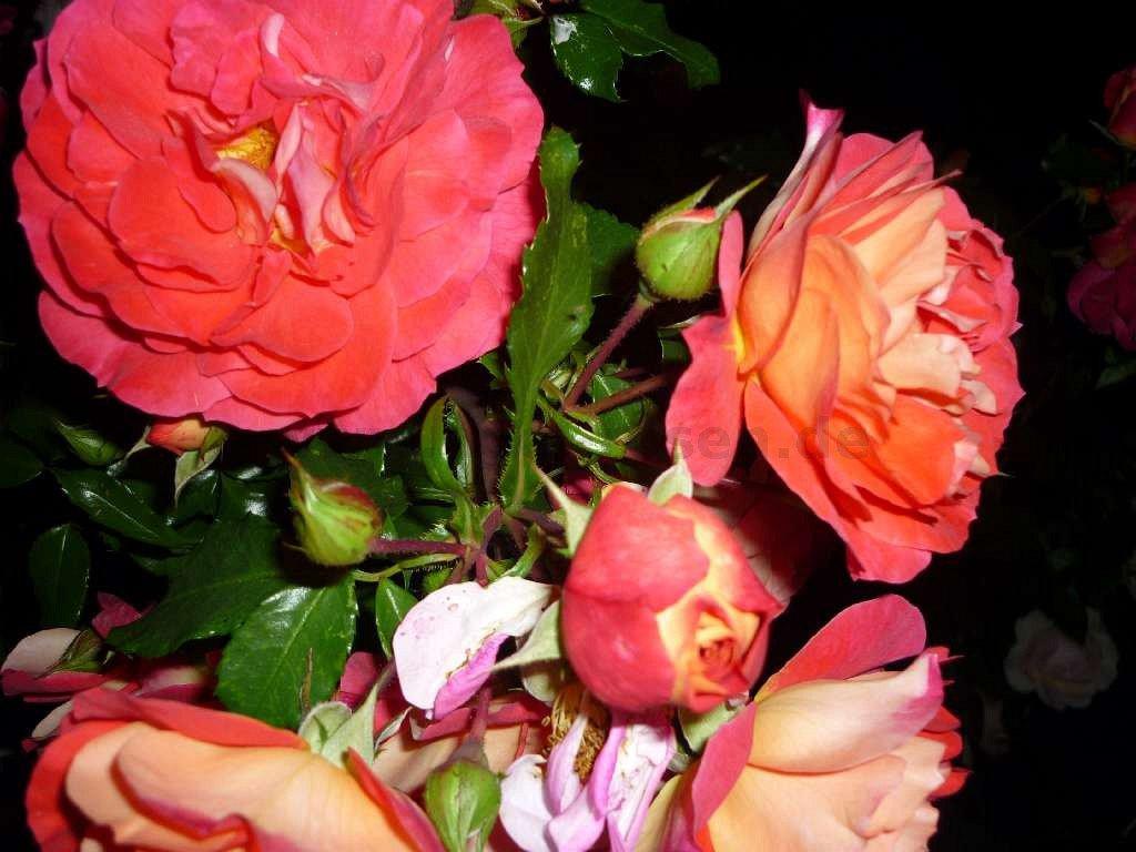 gebr der grimm floribunda rose buy at agel rosen. Black Bedroom Furniture Sets. Home Design Ideas