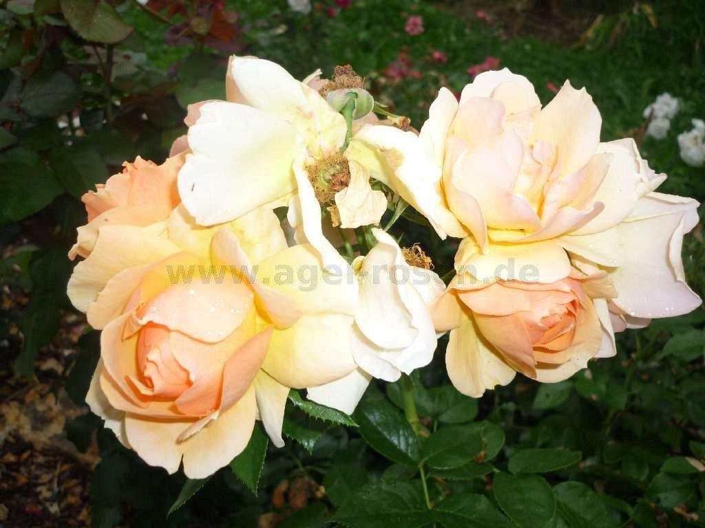 hansestadt rostock floribunda rose buy at agel rosen. Black Bedroom Furniture Sets. Home Design Ideas