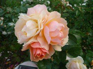 buy rose hansestadt rostock online at agel rosen 8 liter pot present rose container roses. Black Bedroom Furniture Sets. Home Design Ideas