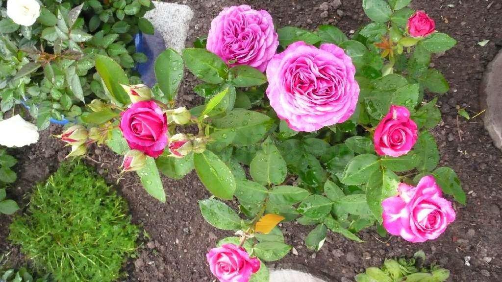 heidi klum rose floribunda rose buy at agel rosen. Black Bedroom Furniture Sets. Home Design Ideas