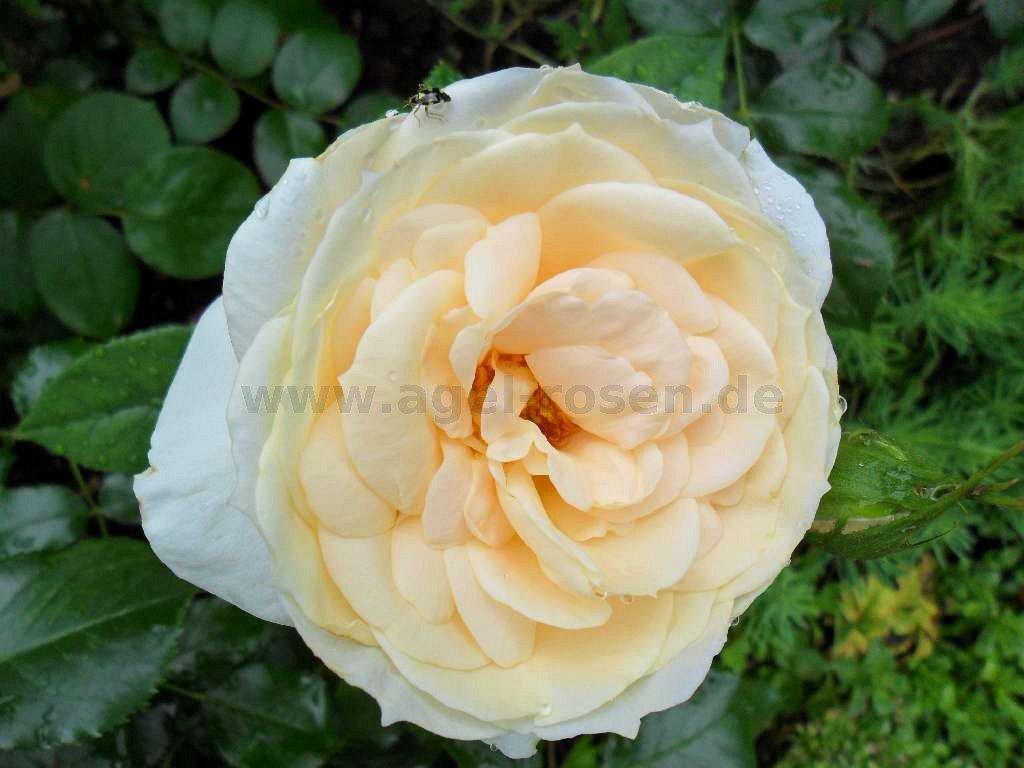 lions rose floribunda rose buy at agel rosen. Black Bedroom Furniture Sets. Home Design Ideas