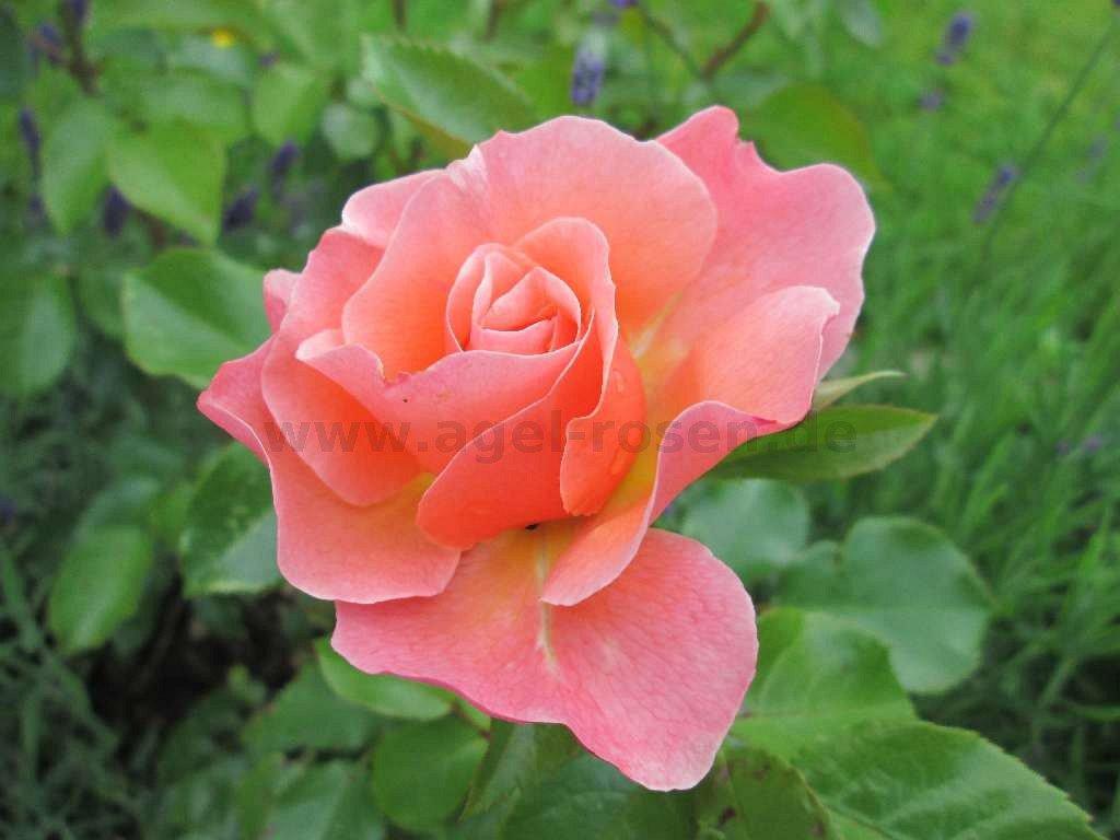 marie curie floribunda rose buy at agel rosen. Black Bedroom Furniture Sets. Home Design Ideas