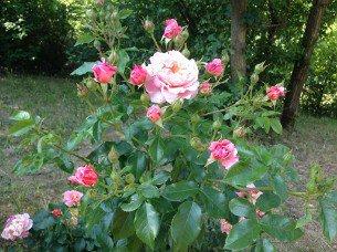 buy rose marie curie online at agel rosen tree roses. Black Bedroom Furniture Sets. Home Design Ideas