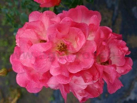 maxi vita floribunda rose buy at agel rosen. Black Bedroom Furniture Sets. Home Design Ideas