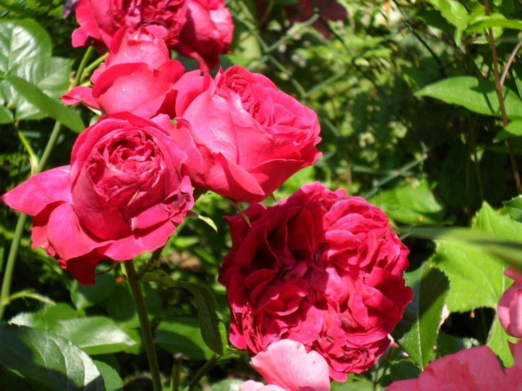red leonardo da vinci floribunda rose buy at agel rosen. Black Bedroom Furniture Sets. Home Design Ideas