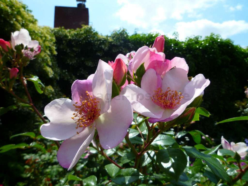 sweet pretty floribunda rose buy at agel rosen. Black Bedroom Furniture Sets. Home Design Ideas