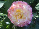 Aquarell (Hybrid Tea)