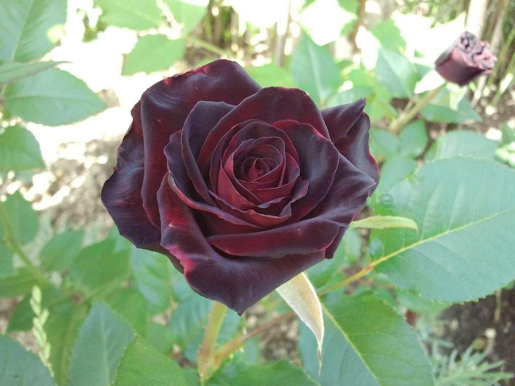 buy rose black baccara online at agel rosen tree roses 90cm 5l pot container roses. Black Bedroom Furniture Sets. Home Design Ideas