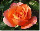 Cherry Brandy (Hybrid Tea)