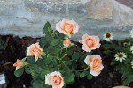 Exotic syn. Warm Wishes (Hybrid Tea)