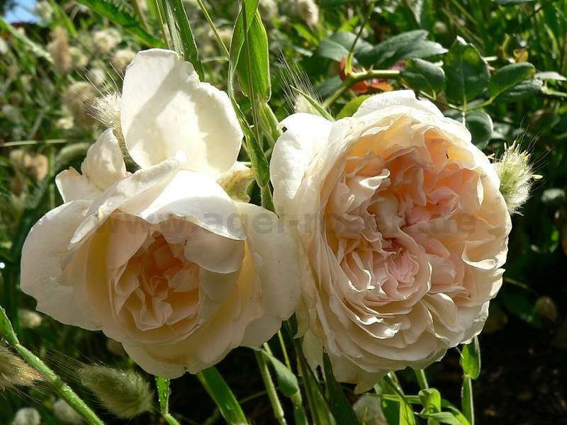 sebastian kneipp hybrid tea buy at agel rosen. Black Bedroom Furniture Sets. Home Design Ideas