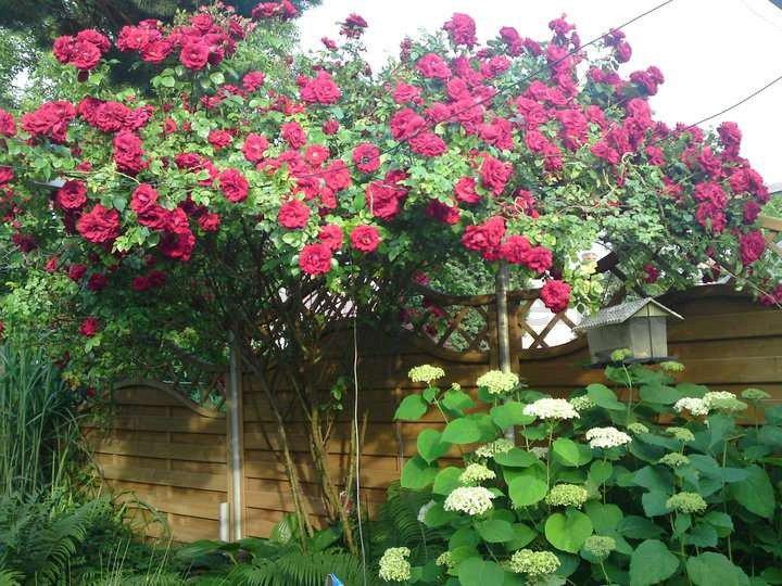 amadeus kletterrose kaufen bei agel rosen. Black Bedroom Furniture Sets. Home Design Ideas