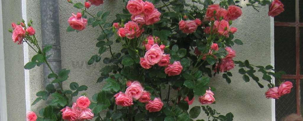 lawinia kletterrose kaufen bei agel rosen. Black Bedroom Furniture Sets. Home Design Ideas