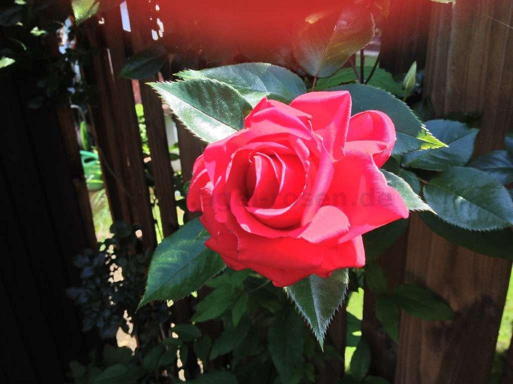 rose red flame online kaufen agel rosen 3 liter topf. Black Bedroom Furniture Sets. Home Design Ideas