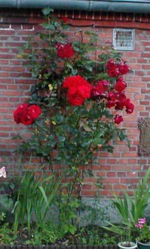santana kletterrose kaufen bei agel rosen. Black Bedroom Furniture Sets. Home Design Ideas