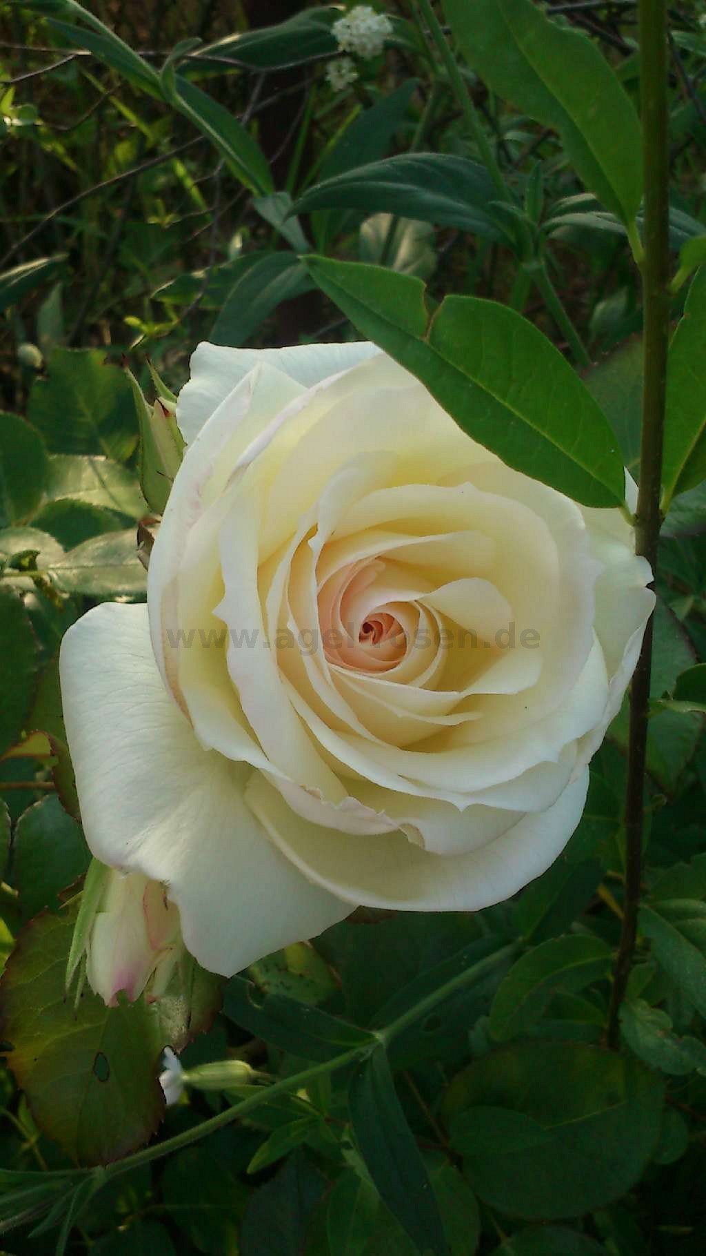 rose schneewalzer online kaufen agel rosen 1 5 liter. Black Bedroom Furniture Sets. Home Design Ideas