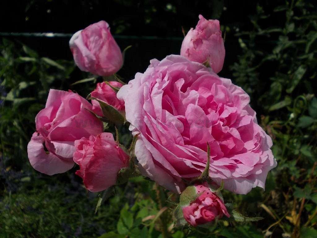 comte de chambord portland rose buy at agel rosen. Black Bedroom Furniture Sets. Home Design Ideas
