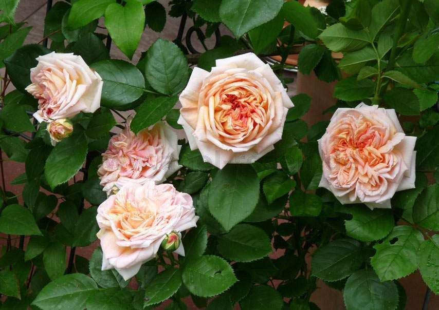 alchymist rambler kaufen bei agel rosen. Black Bedroom Furniture Sets. Home Design Ideas
