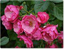 Angela (Shrub Rose)