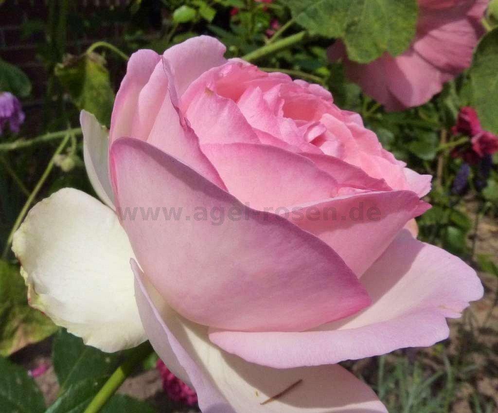eden rose shrub rose buy at agel rosen. Black Bedroom Furniture Sets. Home Design Ideas