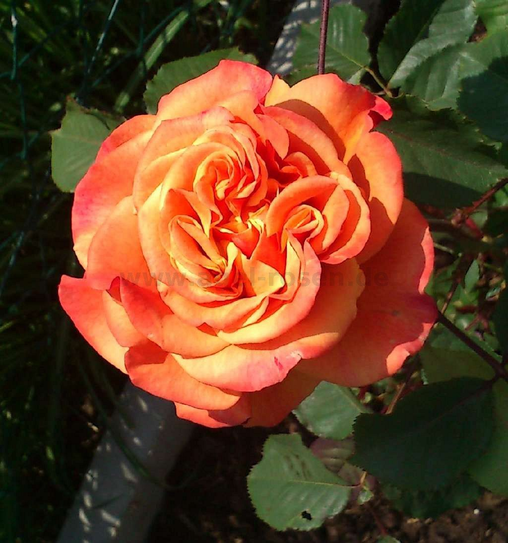 la villa cotta shrub rose buy at agel rosen. Black Bedroom Furniture Sets. Home Design Ideas