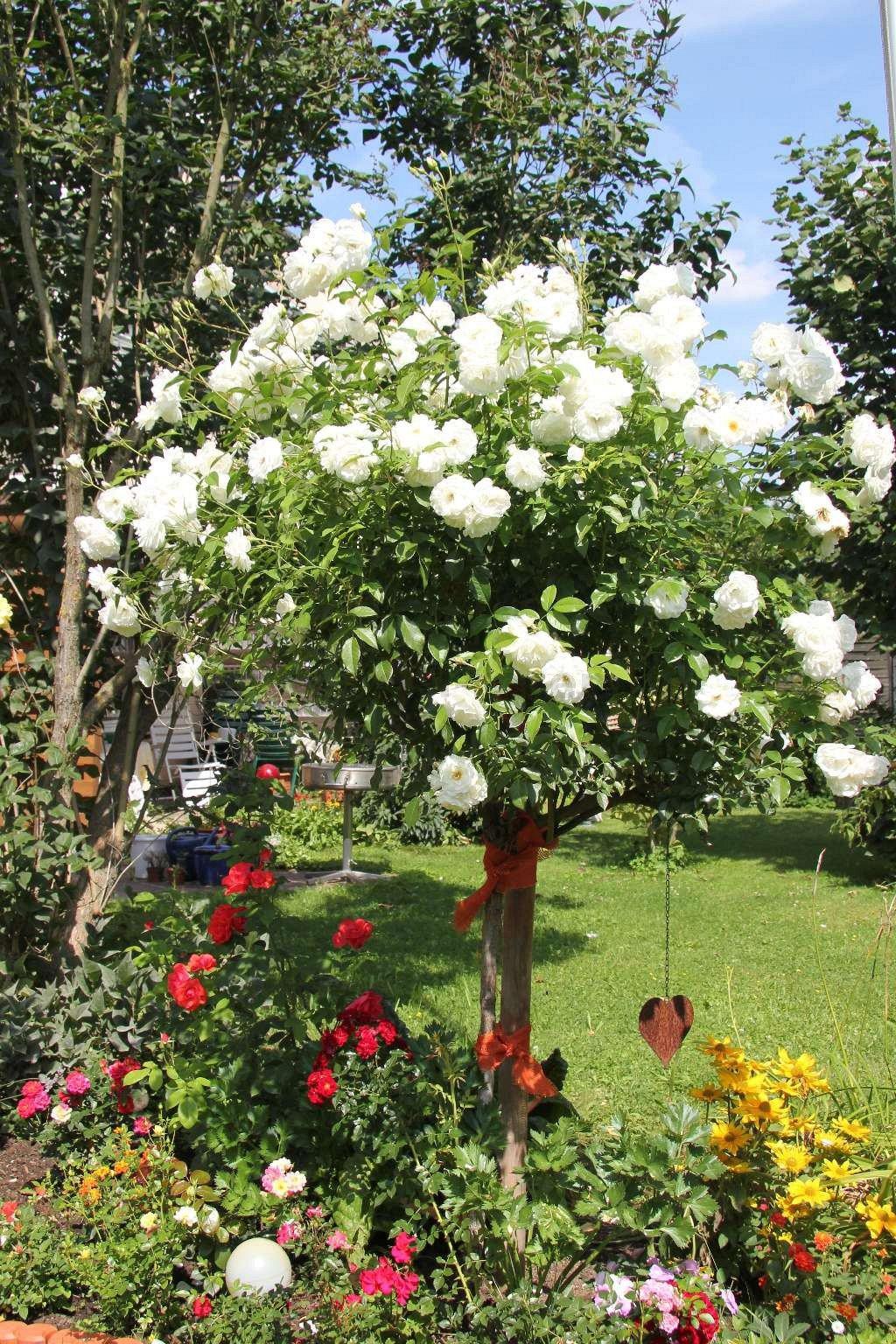schneewittchen shrub rose buy at agel rosen. Black Bedroom Furniture Sets. Home Design Ideas