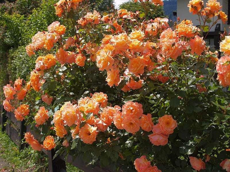 westerland shrub rose buy at agel rosen. Black Bedroom Furniture Sets. Home Design Ideas