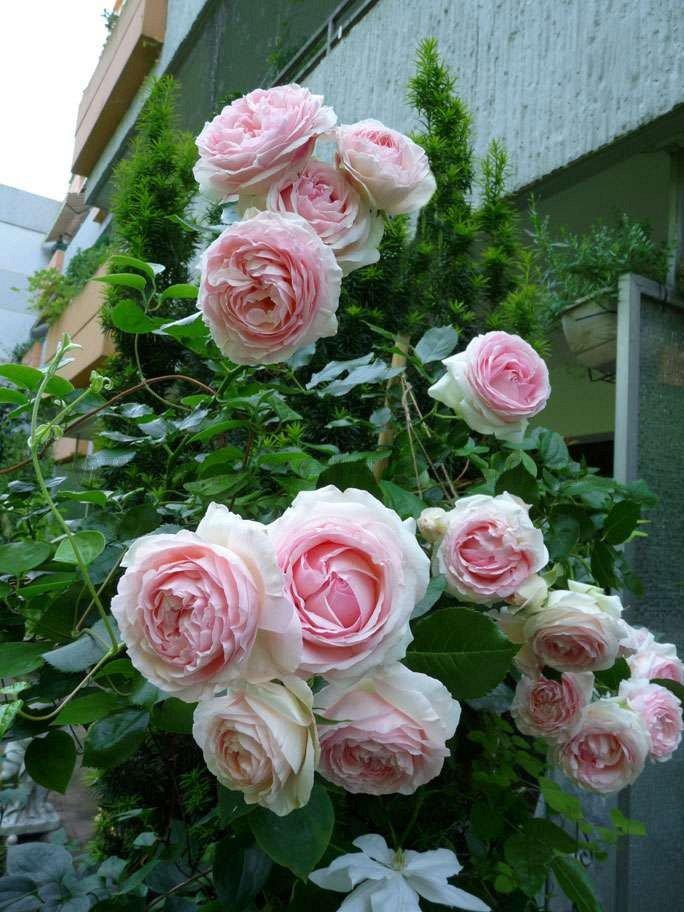 eden rose 85 strauchrose kaufen bei agel rosen. Black Bedroom Furniture Sets. Home Design Ideas